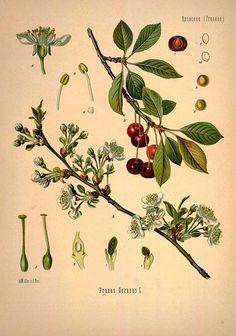 Prunus Cerasus L., Sour cherry - Medicinal Botanical Plants