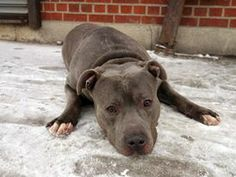 TO BE DESTROYED 03/13/14 Brooklyn Center   My name is DOUBLE. My Animal ID # is A0992981. I am a male gr brindle and white staffordshire mix. The shelter thinks I am about 6 YEARS old.  I came in the shelter as a OWNER SUR on 03/03/2014 from NY 11208, owner surrender reason stated was NEW BABY.  https://www.facebook.com/photo.php?fbid=767269836619231&set=a.611290788883804.1073741851.152876678058553&type=3&theater
