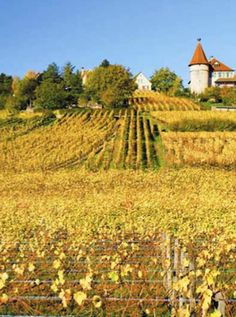 Pinot Gris has historically been an important grape in Alsace, generally the third most widely planted after Riesling and Gewurtztraminer. Through most of that long history though, the wines produced from these grapes were referred to as Tokay d'Alsace. ... http://www.snooth.com/articles/french-pinot-grigio/