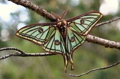 Lepidoptera — Graellsia isabellae — Spanish Moon Moth    (Source: the-moth-princess)