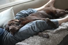 Looks like our brown Labrador thinks is a lap dog weights 180 or more but I love him