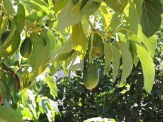 Twenty Evergreen Shrubs For Non-Stop Color Evergreen Shrubs, Deciduous Trees, Bog Plants, Growing Plants, Bobo Hydrangea, Blue Hosta, Shade Shrubs, Dwarf Shrubs, Atlanta Botanical Garden