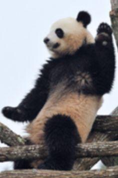Rid'em panda.
