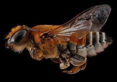 Macro Bee Portraits by Sam Droege | Inspiration Grid | Design Inspiration