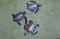 A Billion Baby Sea Turtles?