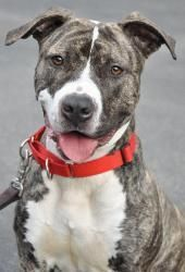 Kacey- Pit Bull Terrier Mix