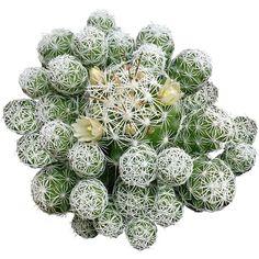 Thimble Cactus Mammillaria Small Cactus Gracilis Fragilis cute little cactus green Spiky Cactus Thim