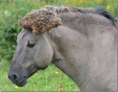 Konik met helm van klissen (foto: Petra Snijders)