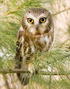 Northern Saw Whet Owl. Cutie little thing!