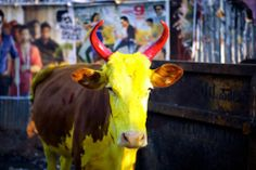 Pongal is a popular four day harvest festival in Tamil Nadu. See Pongal pictures in this photo gallery. Pongal Festival In Tamil, Pongal Photos, Photo Galleries, Cow, Celebrities, Gallery, Festivals, Feathers, Painting