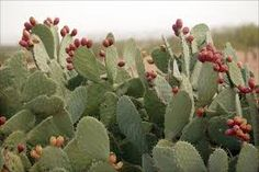 Prickly Pear cactus (Opuntia genus) with fruit, Sonoran desert, Arizona. Desert Flowers, Desert Cactus, Desert Plants, Desert Gardening, Cacti And Succulents, Cactus Plants, Edible Plants, Exotic Plants, Weird Fruit