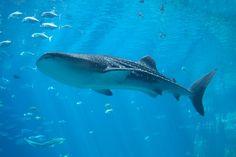 I shall swim with you, Mr. Whale Shark.