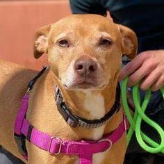 Foster To Adopt, Dallas Texas, Mixed Breed, Pet Adoption, The Fosters, Safari, Pitbulls, Dog Cat, Meet