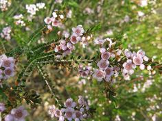 This Thryptomene saxicola that grows out at Lubra Bend is absolutely stunning!  #flora #flower #pink #garden