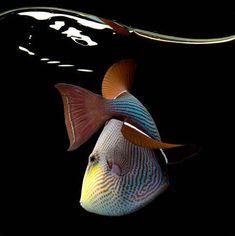 Beautful Triggerfish fish