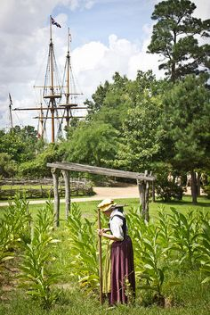 tending tobacco crops in Historic Jamestown, Virginia   Flickr - Photo Sharing!