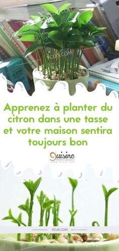 Apprenez à planter du citron dans une tasse et votre maison sentira toujours bon… - 9 Cuisine