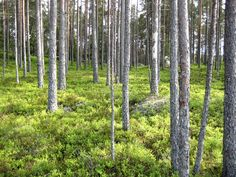 In Sweden blueberries grow wild. It is a lowgrowing species and can most often be found among pine trees or even deep in the woods .