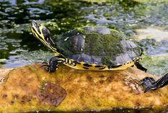 Yellowbelly Slider | Flickr - Photo Sharing!