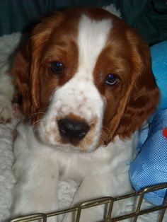 This is Bertie, our Welsh Springer Spaniel