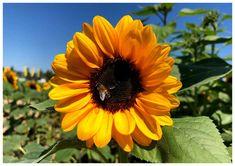 Viele kostenlose Tischsets zum selber ausdrucken. Hier zum Thema Herbst. Plants, Sunflowers, Autumn, Plant, Planets