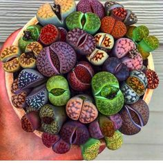 Organic Rainbow Mix 25 Lithops Seeds-Most of the colors we carry in a balanced mix of color. Very easy to grow, great for kids gardensOrganic Rainbow Mix Lithops Seeds Other Names Lithops aucampiae var Aucampiae Living Stones Stone Plant Pebble Plant Growing Succulents, Cacti And Succulents, Planting Succulents, Cactus Plants, Planting Flowers, Herb Plants, Cactus Decor, Cactus Art, Succulent Seeds