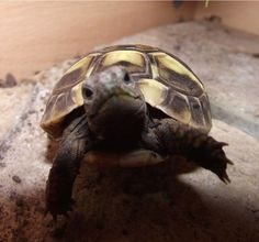 I have seen numerous suggestions for Russian tortoise diet Some great Some awful. Russian Tortoises are nibblers and appreciate broad leaf plants. Cute Tortoise, Tortoise Habitat, Baby Tortoise, Sulcata Tortoise, Tortoise Care, Giant Tortoise, Tortoise Turtle, Baby Animals, Crocodiles
