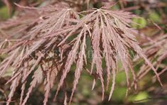 Acer Palmatum Dissectum 39 Orangeola 39 Orangeola Laceleaf Japanese Maple Deciduous Tree Sun To Part