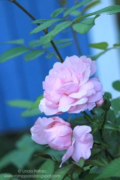A Finnish rose 'herttoniemi' grows in front of my garden shed
