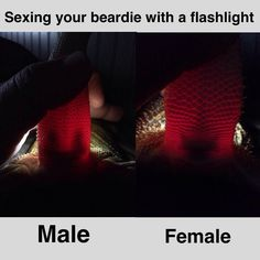 Sexing Bearded Dragons with the aid of a flashlight