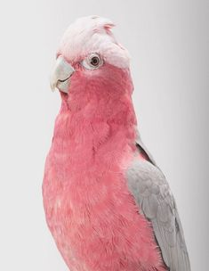 """Galah"" / Rose-Breasted Cockatoo / Cacatua rosada / by Leila Jeffreys"