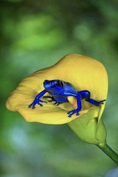 dendrobates azurus My fav frog! poison arrow frog from sirinam in south america (sorry if the spelling is wrong, wrote that from memory) Les Reptiles, Reptiles And Amphibians, Mammals, Beautiful Creatures, Animals Beautiful, Cute Animals, Cute Frogs, Frog And Toad, Tier Fotos