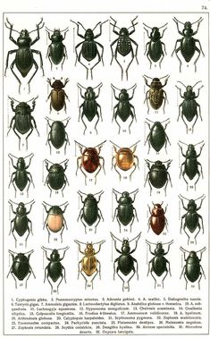 Reino: Animalia Filo: Arthropoda Clase: Insecta Subclase: Pterygota Infraclase: Neoptera (con alas) Superorden: Endopterygota (insecto...