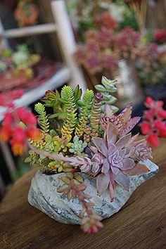 Rock Succulents.
