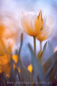 Tulip by Magda Wasiczek