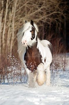 A beautiful Gypsy Vanner prancing through the snow. Horses And Dogs, Cute Horses, Pretty Horses, Horse Love, Wild Horses, Most Beautiful Horses, Animals Beautiful, Beautiful Creatures, Cute Funny Animals