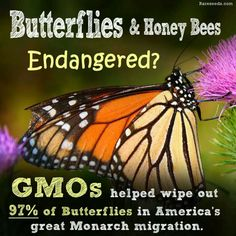 It's time to wipe out GMO's in hopes if regaining our butterfly and honeybee populations.