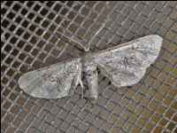 Fine-lined Gray Moth