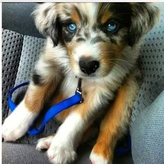 Goberian - Golden Retriever/Siberian Husky Mix :)