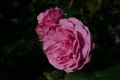 Louise Odier – hillityn hempeä | Vesan viherpiperryskuvat – puutarha kukkii