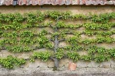 If your garden is blessed with a south- or west-facing wall, consider growing fruiting shrubs and trees as an espalier, you can be as trad or rad with the design as you like; as long as you keep pruning and tying, you'll have a stunning focal point to your garden.
