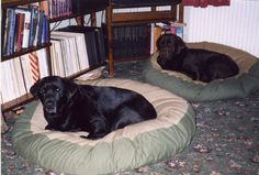 Devon and Merlin, Black Labradors, looking very comfy on their Barka Parka pet bean beds Labradors, Black Labrador, Large Dogs, Merlin, Dog Bed, Devon, Parka, Beds, Comfy