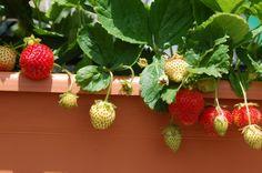 Come coltivare le fragole in vaso sul balcone di casa
