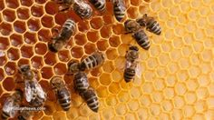 The EPA just stands by while glyphosate destroys bee colonies...