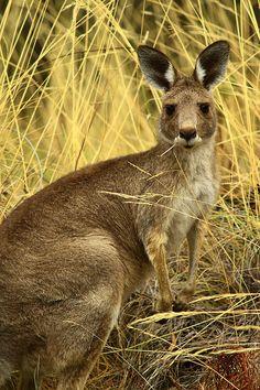 ☀Little Kangaroo By Kel Lysaght