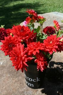 Dahlias in bright red hues.