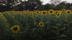 A Wisconsin Farmer Planted Two Million Sunflowers to Spread Joy During the Pandemic | Food & Wine