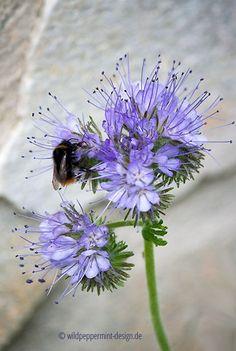 #Bienenfreund-mit-Hummel, Bienenfutter, Bienen schützen, Wildblumen für #Bienen, save the #bees, Bienen retten, wildeschoenheiten.wordpress.com Busy Bee, Backyard Landscaping, Dandelion, Miniatures, Birds, Gardening, Landscape, Nature, Flowers