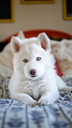 9 week old solid white husky #puppy Dog Lover?