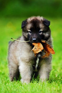 Belgian Tervuren, cute little puppy!!!!